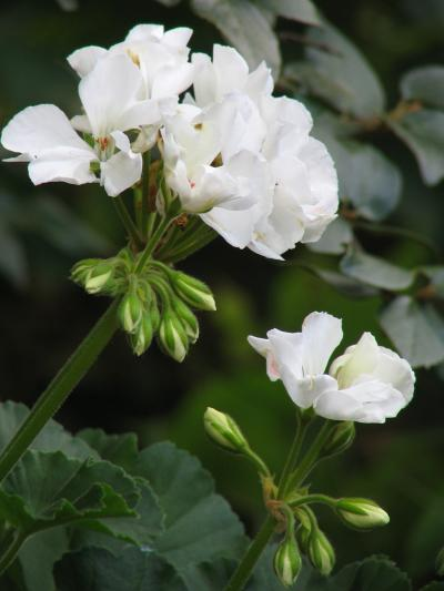 Geraniums grown from seeds
