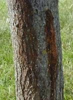 Maple Tree with bacterial wetwood.