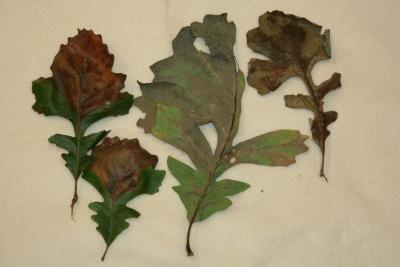 Leaves afflicted with bur oak blight