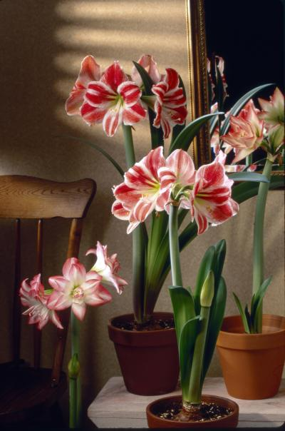 Amaryllis bulbs provide a colorful addition to your decor