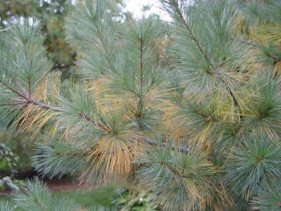 The oldest needles on these white pine branches are turning yellow and dropping, a normal autumn occurrence.