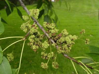 Galls On Ash Tree