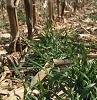 cover crop growing in corn stubble.