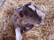 How to Raise Bucket Calves: 13 Steps (with Pictures) - wikiHow  |Bucket Calves