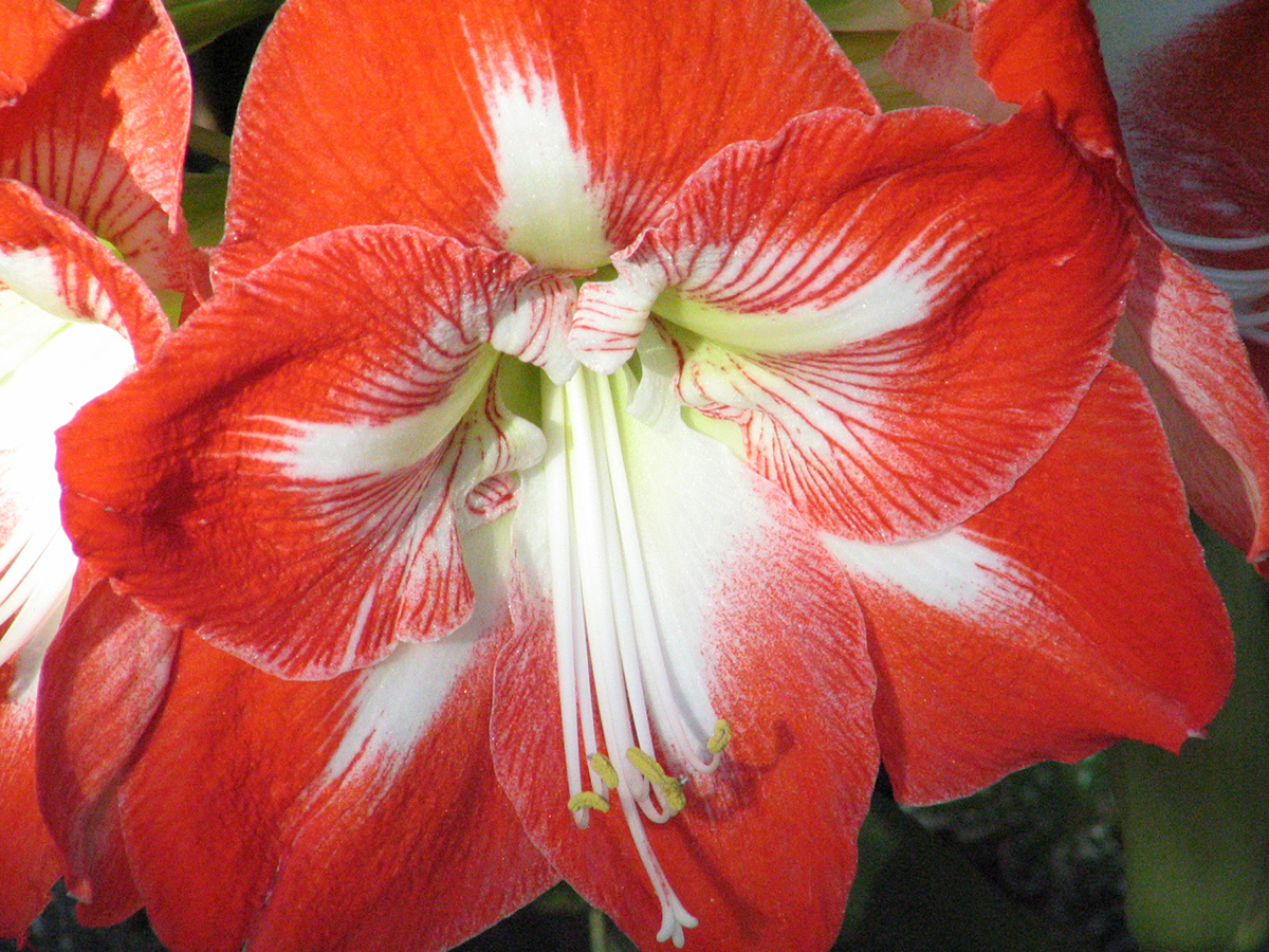 amaryllis bloom