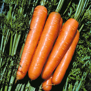 Yard and Garden Planting Carrots in the Home Garden Iowa State