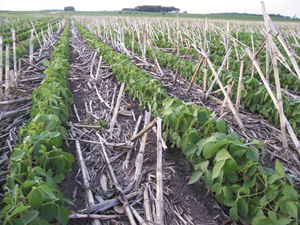 soybeans in corn stalks