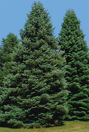 Yard And Garden Caring For Evergreen Trees During Winter