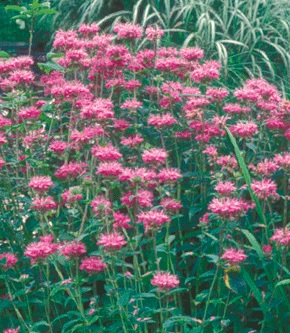 patch of bee balm