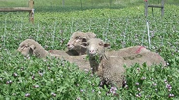 sheep grazing cover crops