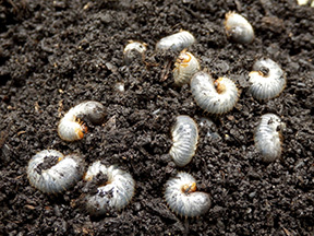 white grubs in the lawn