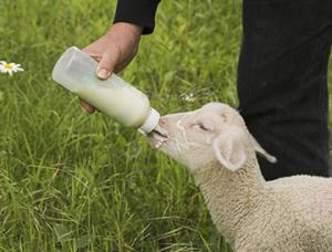 bottle lambing