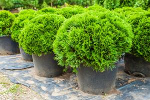 cypress trees in a container