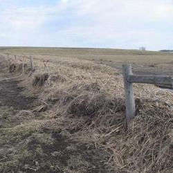 Cornstalks in fence row
