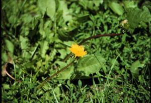 photo of a single dandelion