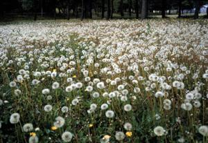 photo of a lawn filled with dandelions