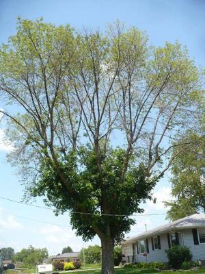 ash tree die back
