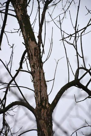 ash tree damage
