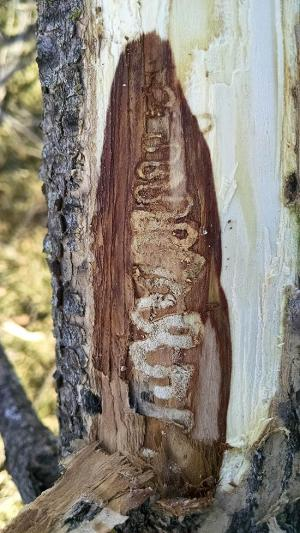 emerald ash borer damage