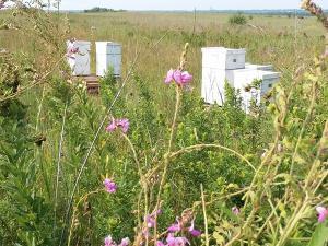 hives in prairie