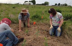 photo of establishing common milkweed in patches for experiment in prairie