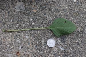 palmer amaranth leaf