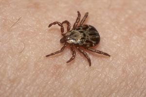photo of a wood tick