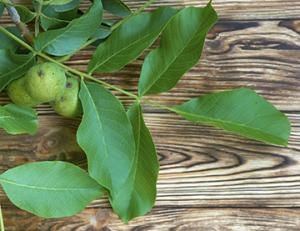 photo of walnut leaves and nuts