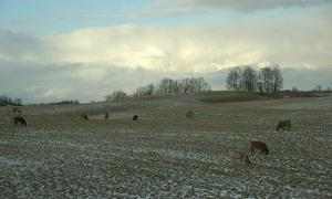 livestock grazing in snow