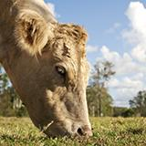 photo of a beef animal grazing