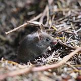 photo of a small brown mouse