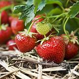 strawberries with mulch