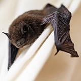 common bat