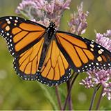 photo of a monarch butterfly on a flower