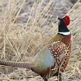 photo of a pheasant