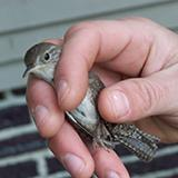photo of a wren in the hand