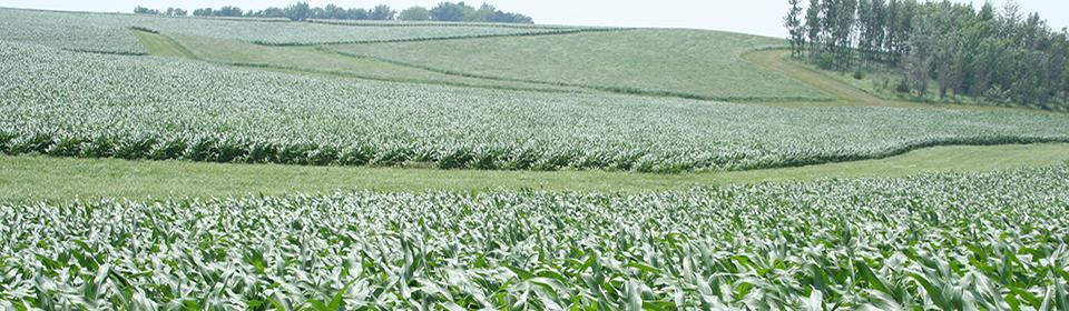 Buffer strips in corn field