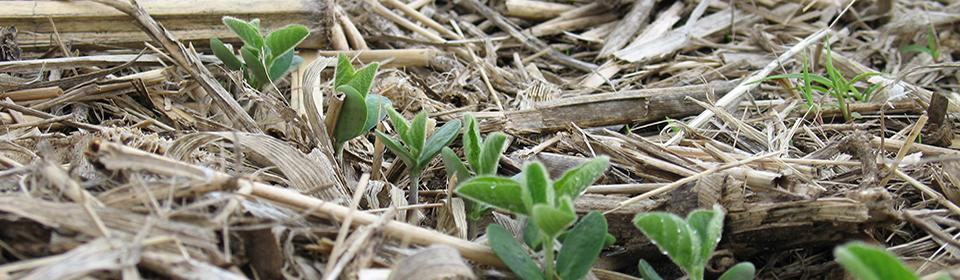 Emerging soybean in No-tillage