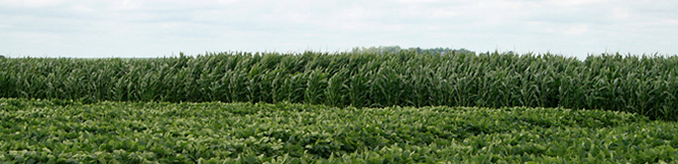 Photo of soybean and corn field