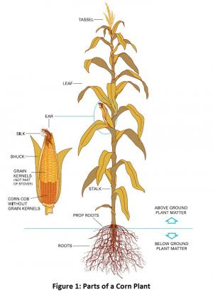 Parts of a Corn Plant
