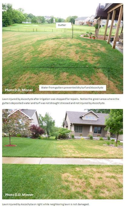 Ascochyta Leaf Blight Scorches Iowa Lawns Turfgrass
