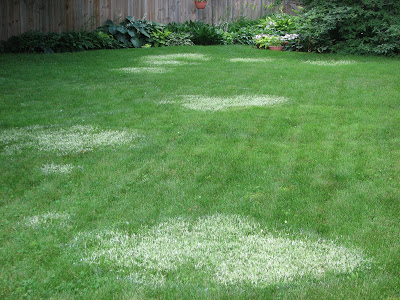 Nimblewill Control In Kentucky Bluegrass Turf Turfgrass