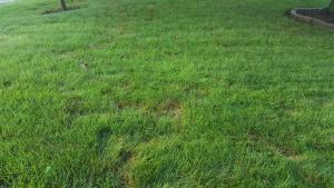 Disease on turfgrass lawn