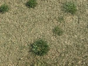 Green tall fescue clumps in dormant Kentucky bluegrass