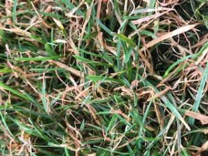 Red Thread spots can grow together to form large area's of blighted turf.