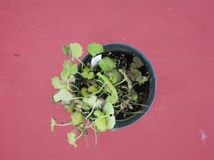 Ground Ivy 10 days after treatment with Triclopyr