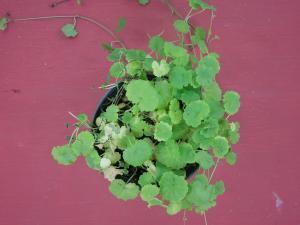 Ground Ivy 10 days after treatment with Tenacity