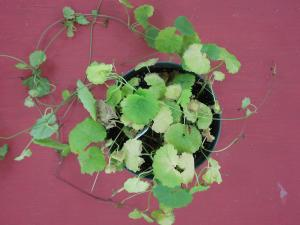 Ground Ivy 10 days after being treated with both Triclopyr and Tenacity