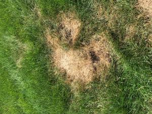 Figure 1. Chinch bug damage in a lawn