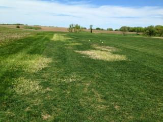 WILL TENACITY (MESOTRIONE) KILL QUACKGRASS? | Turfgrass
